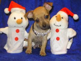 Foto 2 Bildschöne Chihuahua- Welpen