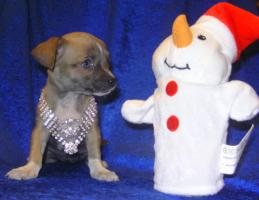Foto 3 Bildsch�ne Chihuahua- Welpen
