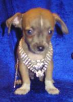Foto 4 Bildsch�ne Chihuahua- Welpen