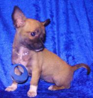 Foto 5 Bildsch�ne Chihuahua- Welpen