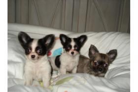 Bildschöne Chihuahuababys, in liebevolle Hände abzugeben