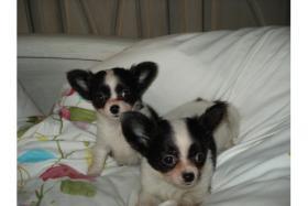 Foto 2 Bildschöne Chihuahuababys, in liebevolle Hände abzugeben