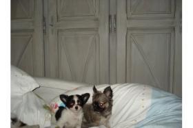Foto 3 Bildschöne Chihuahuababys, in liebevolle Hände abzugeben