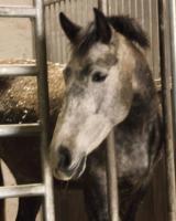 Bildschöne P.R.E (Andalusier) Stute zu verkaufen