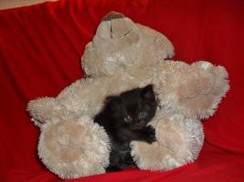 Foto 2 Bildschöne Sibirische Waldkatzen Babys