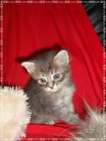 Foto 3 Bildschöne Sibirische Waldkatzen Babys