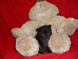 Foto 4 Bildschöne Sibirische Waldkatzen Babys