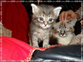 Foto 6 Bildschöne Sibirische Waldkatzen Babys