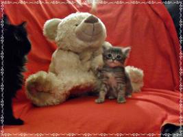 Foto 7 Bildschöne Sibirische Waldkatzen Babys