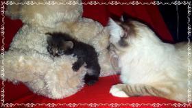 Foto 8 Bildschöne Sibirische Waldkatzen Babys
