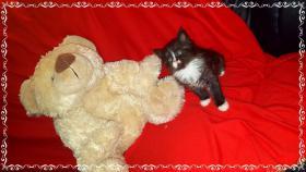 Foto 9 Bildschöne Sibirische Waldkatzen Babys