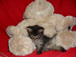 Foto 10 Bildschöne Sibirische Waldkatzen Babys