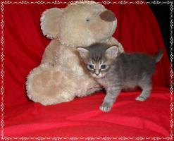 Foto 11 Bildschöne Sibirische Waldkatzen Babys