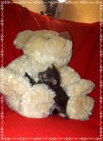 Foto 12 Bildschöne Sibirische Waldkatzen Babys
