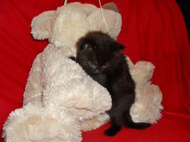 Foto 13 Bildschöne Sibirische Waldkatzen Babys