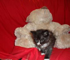Foto 14 Bildschöne Sibirische Waldkatzen Babys