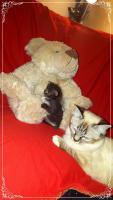 Foto 15 Bildschöne Sibirische Waldkatzen Babys