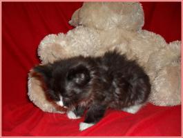 Foto 16 Bildschöne Sibirische Waldkatzen Babys