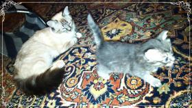 Foto 17 Bildschöne Sibirische Waldkatzen Babys