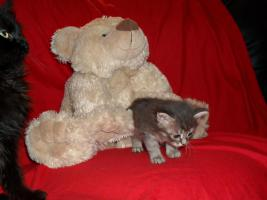 Foto 19 Bildschöne Sibirische Waldkatzen Babys