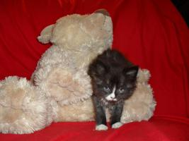 Foto 20 Bildschöne Sibirische Waldkatzen Babys