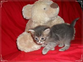 Foto 22 Bildschöne Sibirische Waldkatzen Babys