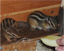Foto 3 Bildschöne Streifenhörnchen zum verlieben