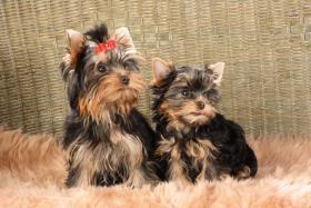 Foto 3 Bildschöne Yorkshire Terrier Babys