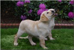 Bildschöne  Labradorwelpe in blond aus Topverpaarung !