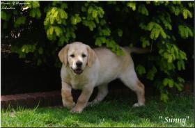 Foto 2 Bildschöne  Labradorwelpe in blond aus Topverpaarung !