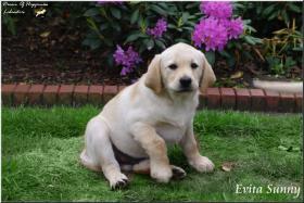 Foto 3 Bildschöne  Labradorwelpe in blond aus Topverpaarung !