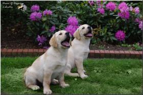 Foto 4 Bildschöne  Labradorwelpe in blond aus Topverpaarung !