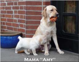 Foto 9 Bildschöne  Labradorwelpe in blond aus Topverpaarung !