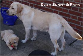 Foto 10 Bildschöne  Labradorwelpe in blond aus Topverpaarung !