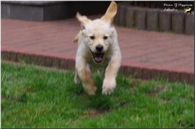 Foto 11 Bildschöne  Labradorwelpe in blond aus Topverpaarung !