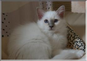 Bildschöner Heilige-Birma-Kitten lilac-point 13 Wochen alt männl.