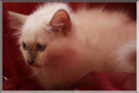 Foto 3 Bildschöner Heilige-Birma-Kitten lilac-point 13 Wochen alt männl.