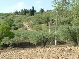 Foto 3 Bio-Olivenöl aus Sizilien