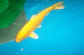 Biotopfische Teichmuscheln Koi Störe günstig vom Koi-Center Schafflund