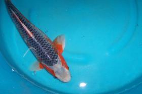 Foto 2 Biotopfische Teichmuscheln Koi Störe günstig vom Koi-Center Schafflund