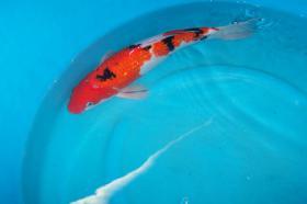 Foto 3 Biotopfische Teichmuscheln Koi Störe günstig vom Koi-Center Schafflund