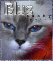 Foto 2 Birma Kater Seal Point Schmusekatze blaue Augen