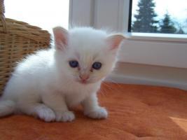 Foto 3 Birma Kitten