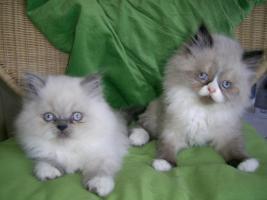 Birma-Perser Kitten