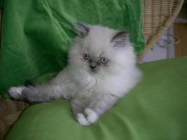 Foto 2 Birma-Perser Kitten
