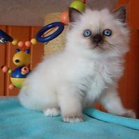 Birmakätzchen, süße Schmuser!