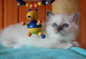 Foto 2 Birmakätzchen, süße Schmuser!