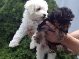 Foto 3 Bischon Frisse und yorkshire Terrier Welpen