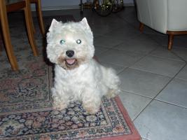 Bitte helfen Sie - unser Westie (West Highland White Terrier) ist  weg!