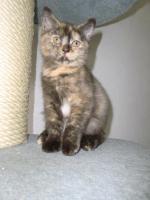 Bkh Baby Kitten Queen Mary vom Knuddelzoo Katze Mädchen Chocolate tortie